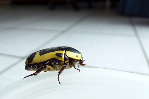 Fruchtkäfer als Sinnbild für den Sobig Bug